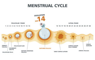 How the Ovulation cycle Works